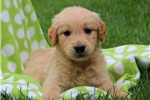 Picture of Tanner / Golden Retriever