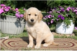 Picture of Arnie / Golden Retriever