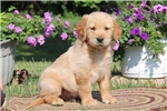 Picture of Archie / Golden Retriever