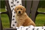 Picture of Kennedy / Golden Retriever