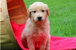 Picture of Titus / Golden Retriever
