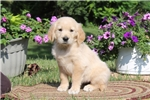 Picture of Audrey / Golden Retriever