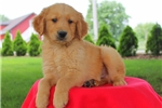 Picture of Frankie / Golden Retriever