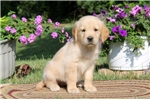 Picture of Allie / Golden Retriever
