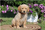 Picture of Apollo / Golden Retriever