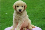 Picture of Sunshine / Golden Retriever