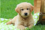 Picture of Tommy / Golden Retriever