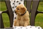 Picture of Buchanan / Golden Retriever