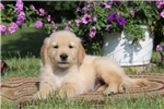 Picture of Alec / Golden Retriever