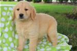 Picture of Forge / Golden Retriever