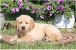 Picture of Anthony / Golden Retriever