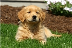 Picture of Bandy / Golden Retriever