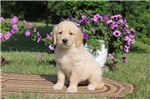 Picture of Amber / Golden Retriever