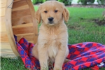 Picture of Fonzi / Golden Retriever
