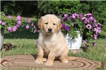 Picture of Aden / Golden Retriever