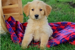 Picture of Firefly / Golden Retriever