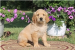 Picture of Adam / Golden Retriever