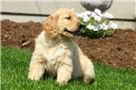 Picture of Bell / Golden Retriever
