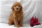 Picture of Goldie / Mini Goldendoodle