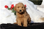 Picture of Seth / Goldendoodle Miniature