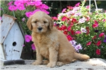 Picture of Kent / Miniature Goldendoodle