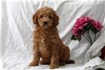 Picture of Gabriel / Mini Goldendoodle