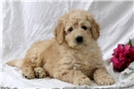Picture of Gavin / Mini Goldendoodle