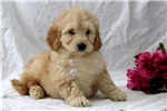 Picture of Ginny / Mini Goldendoodle