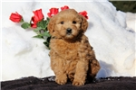 Picture of Sela / Goldendoodle Miniature
