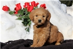 Picture of Sonya / Goldendoodle Miniature