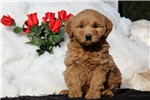 Picture of Sally / Goldendoodle Miniature