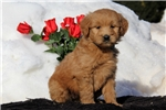 Picture of Sandy / Goldendoodle Miniature
