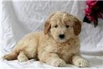 Picture of Gloria / Mini Goldendoodle