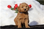 Picture of Sylvia / Goldendoodle Miniature