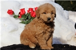 Picture of Sammy / Goldendoodle Miniature