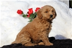 Picture of Sara / Goldendoodle Miniature