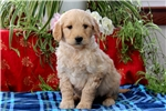 Picture of Nolan / Goldendoodle