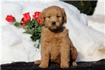 Picture of Shelby / Goldendoodle Miniature