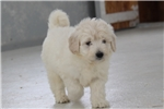 Picture of Gus / Mini Goldendoodle