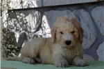Picture of Cameron / Goldendoodle