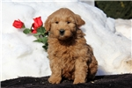Picture of Scotty / Goldendoodle Miniature