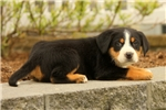 Picture of Dexter / Greater Swiss Mountain Dog