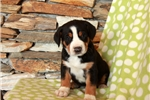 Picture of Hazel / Greater Swiss Mountain Dog
