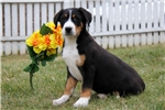 Picture of Hunter / Greater Swiss Mountain Dog