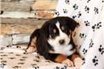 Picture of Harper / Greater Swiss Mountain Dog