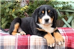 Picture of Riley / Greater Swiss Mountain Dog