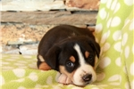 Picture of Harmony / Greater Swiss Mountain Dog