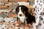 Picture of Harvey / Greater Swiss Mountain Dog