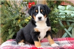 Picture of Roxanne / Greater Swiss Mountain Dog