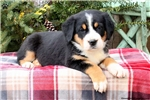 Picture of Rachel / Greater Swiss Mountain Dog